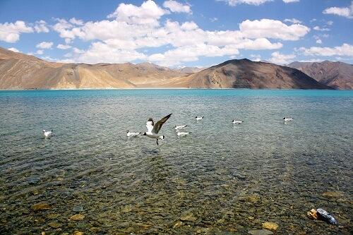Migratory Bird At Pangong Lake, Ladakh