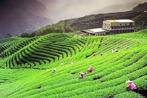 Palampur Tea Plantation