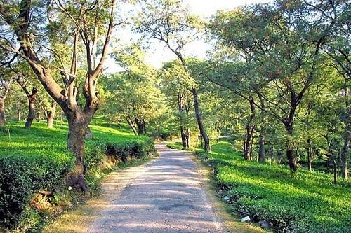 Tea Garden, Palampur, Dharamshala
